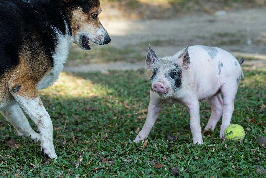 Na  zdjęciu znajduje się prosiak i dorosły pies. Prosiak w pobliżu raciczki ma piłkę do teniasa. pies jst widocznie skonsternowany. ma otwarty pysk i zdziwione spojrzenie. Zwierzęta są na trawie.