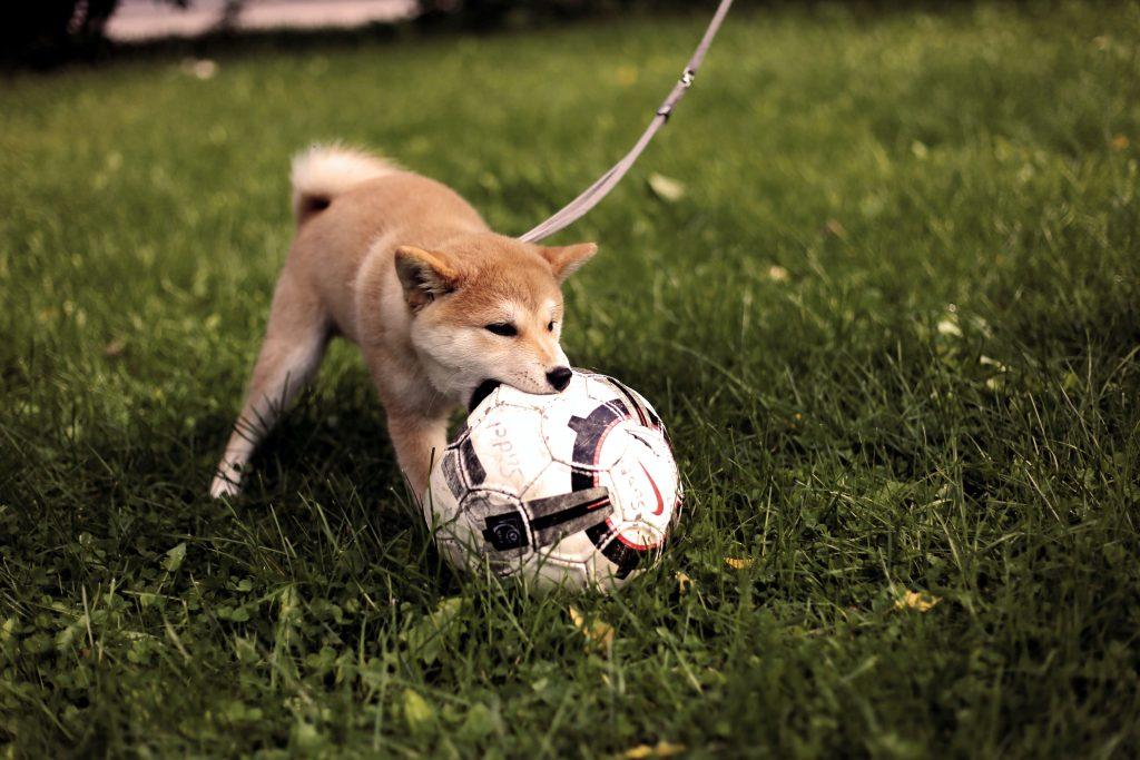 Na trawie szczniak akita inu lub shiba inu bawię piłką. TRzyma ją w zębach, Sam jest trzymany na smyczy. Ma kolor biało rudy. TRawa jest cieczmnozielona.