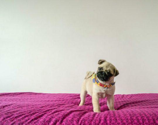 na łóżku na fioletowej pościeli stoi szczeniak mopsa, beżowy. ma lekko przekręcowną głowę, jakby słuchał co się do niego mówi.