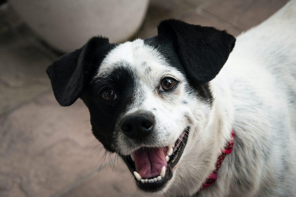biało czarny bies uśmiechający się i pokazujący białe i czyste zęby