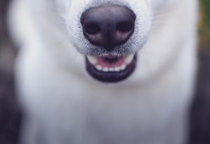 widoczna biała broda psa i nos a właściwie trufla, pies ma w pół otwartą jamę ustną i widoczne są jego białe siekacze