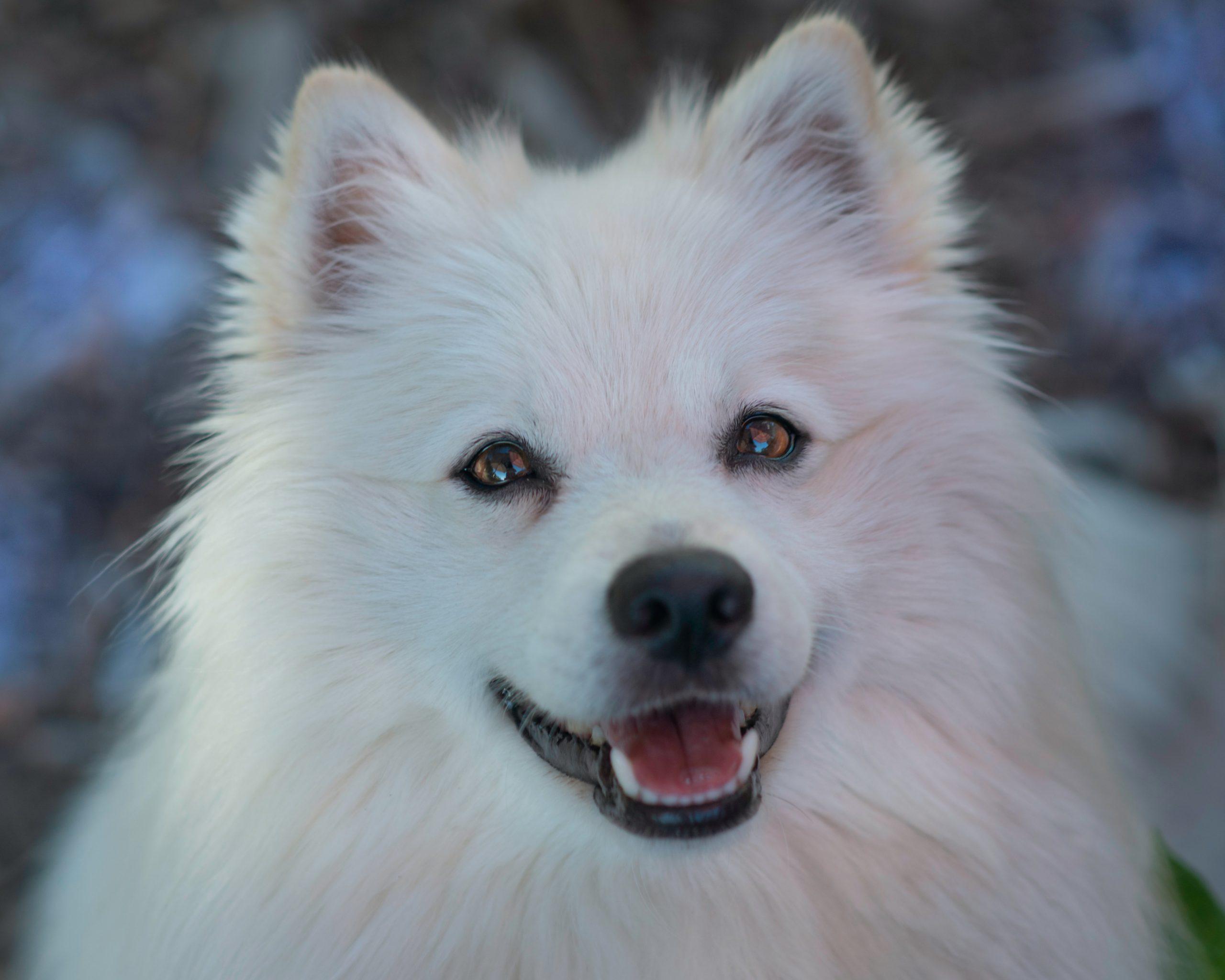 biały pies z na pół otwartą jamą ustną, prezentujący piękne śnieżne zęby. pogodny wyraz pyska.